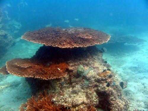 سایت غواصی در جزیره کیش - بیگ کورال